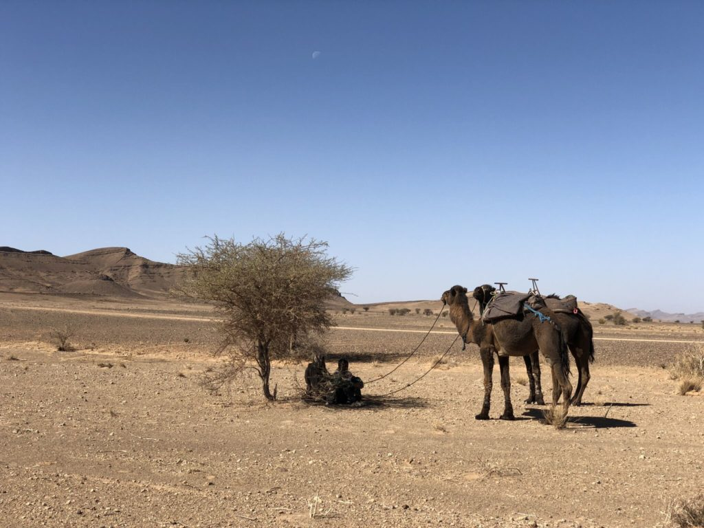 Camel tethered to a tree